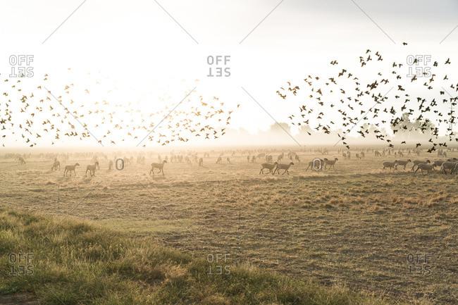 A murmuration of blackbirds over a flock of sheep near the border in Calexico, California
