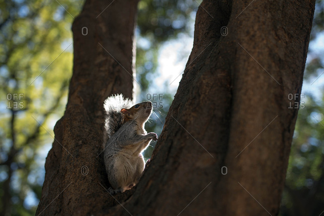 Squirrel eating a nut on tree