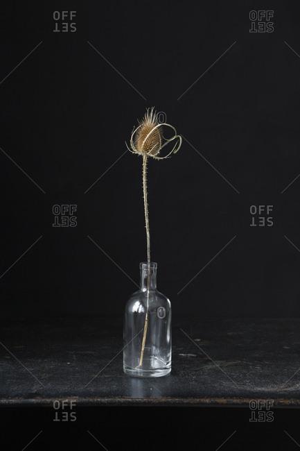 Still life dried thistle