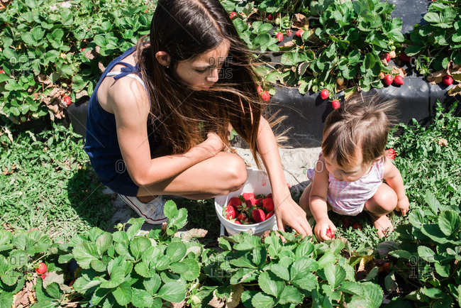 Girl picking strawberries with her baby sister on farm