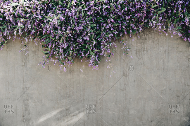 Purple Flowering Vines Hanging Over The Side Of A Cement Wall Stock