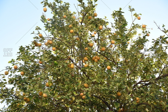 Branches of a lemon tree with ripe fruit