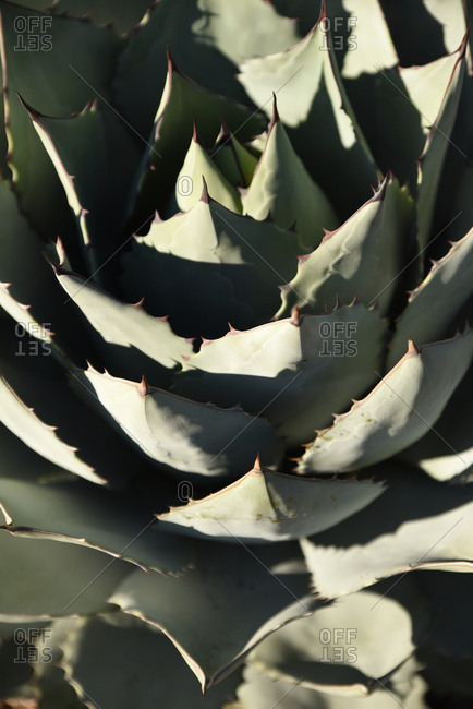 Layers of a cactus plant with sharp pointy ends