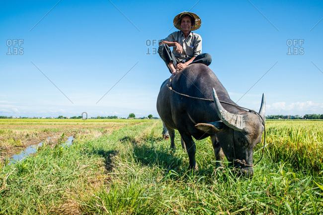 9/11/2016 - Hoi An, Vietnam: Vietnamese farmer on a buffalo taking a break on a rice field