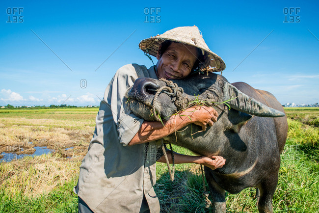 9/11/2016 - Hoi An, Vietnam: Vietnamese farmer on a buffalo taking a break on a rice field