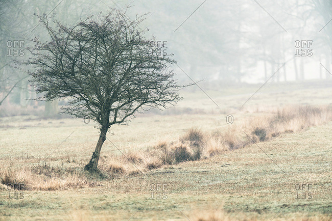 Solitary bare tree in misty field.