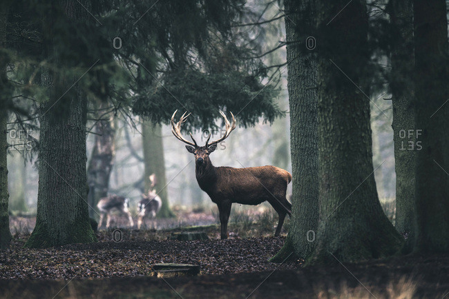 Red deer in pine forest.