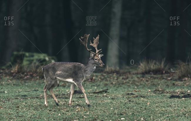 Fallow deer buck walking over meadow in forest.