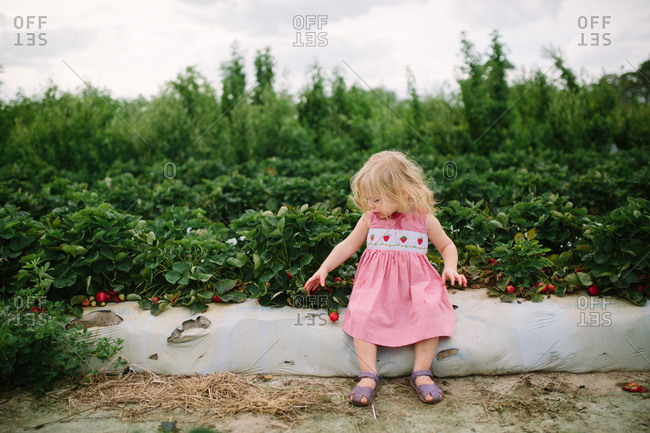 Toddler girl reaches for a ripe strawberry in field