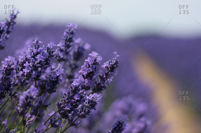 Close-up of purple lavender flowers in a field