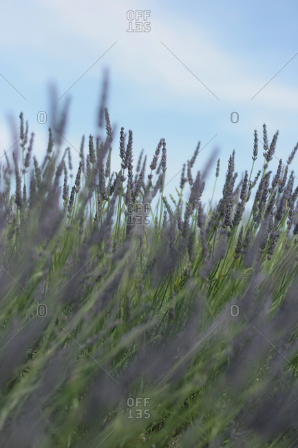 Tall stalks of purple lavender flowers in a field