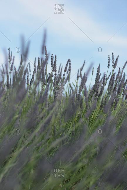 Tall stalks of purple lavender flowers in a field