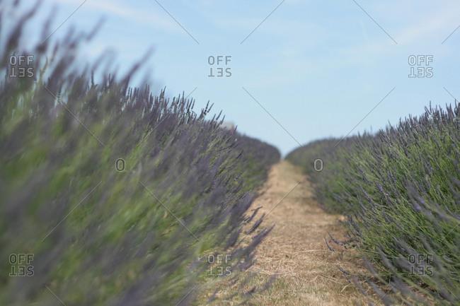 Path through field of lavender flowers on farm