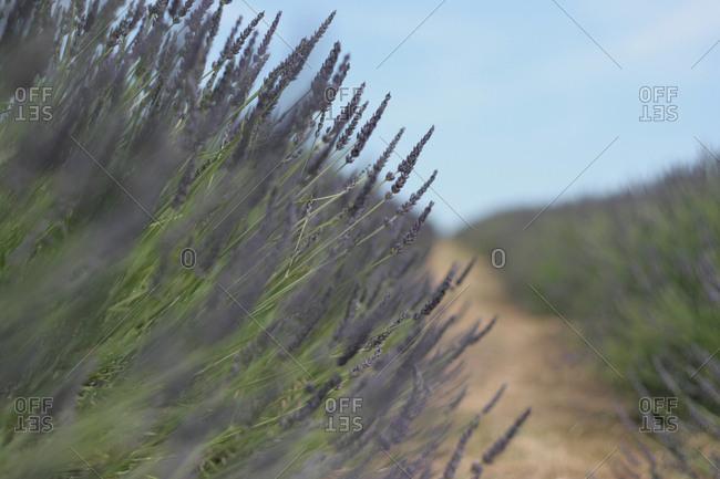 Field of purple lavender flowers