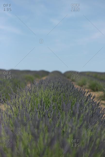 Rows of purple lavender flowers in field