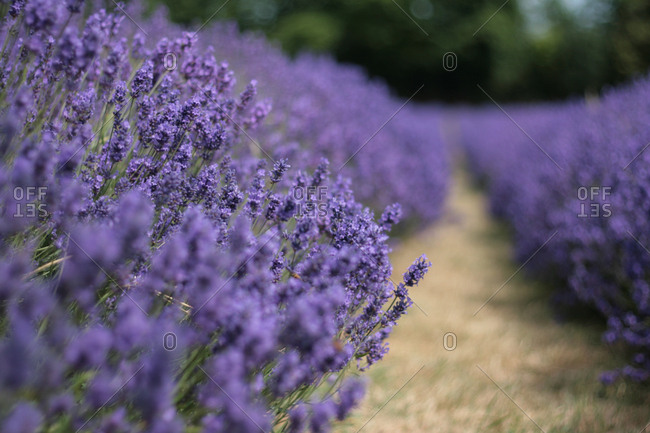 Row of purple lavender flowers on farm