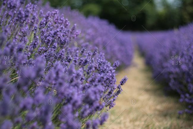 Row of purple lavender flowers on farm