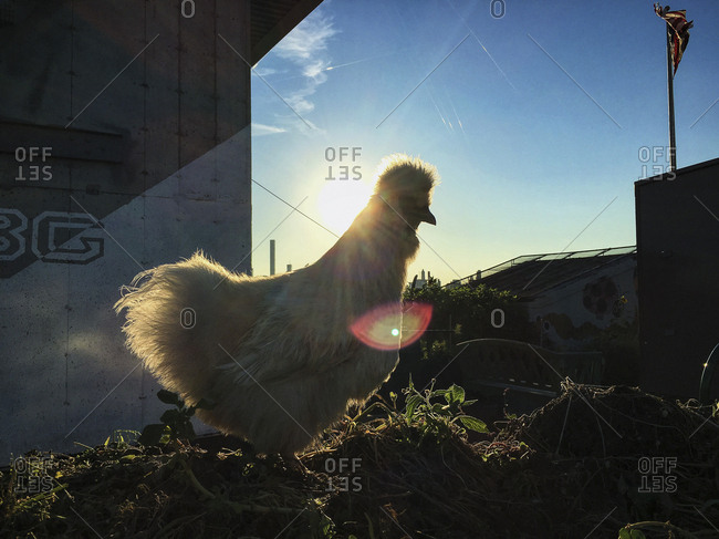 White Silkie Cockerel with lens flare