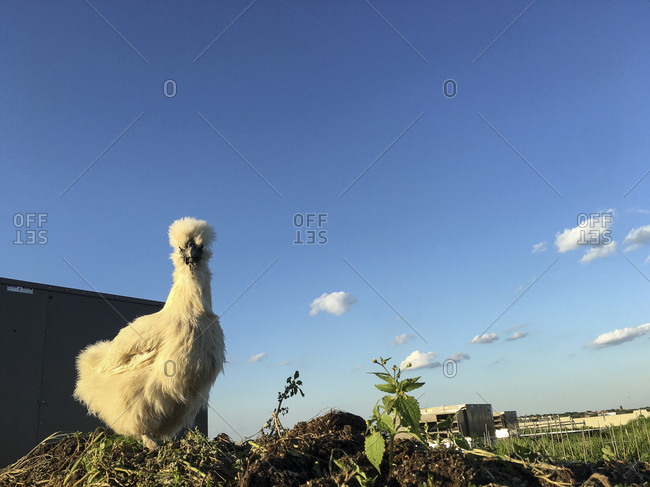 White Silkie Cockerel
