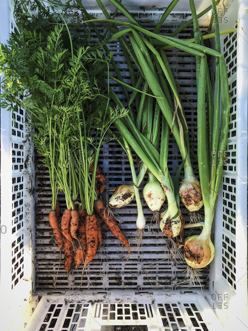 Carrots and shallots in a bin
