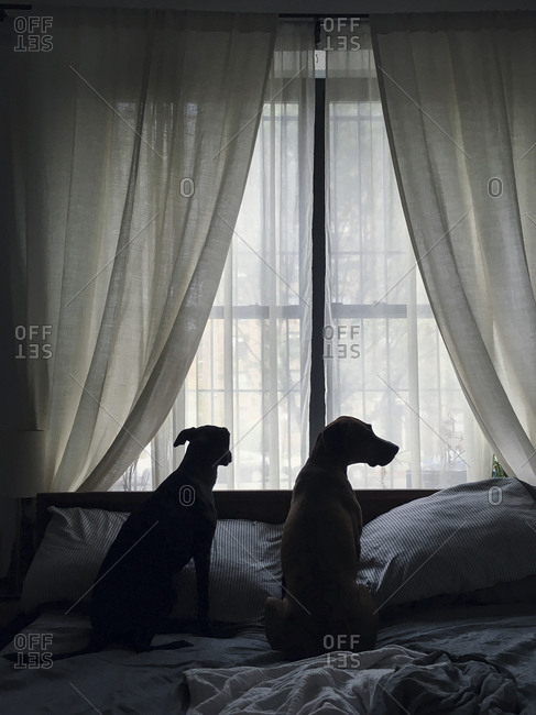 Rear view of two dogs sitting on bed by a window