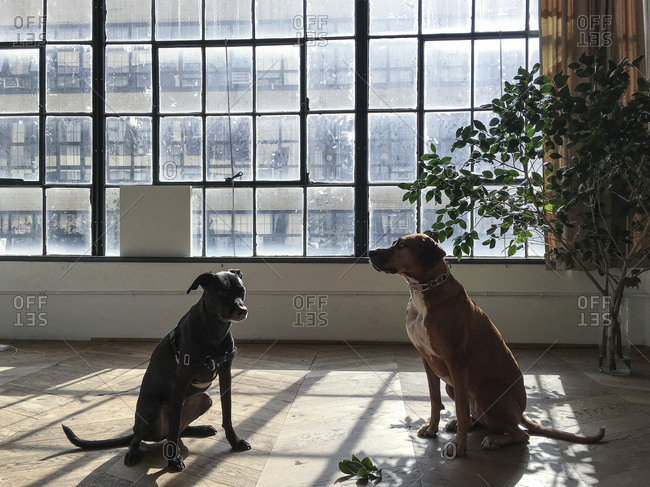 Two dogs sitting by a large window