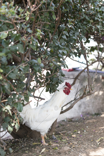 White rooster standing under a bush