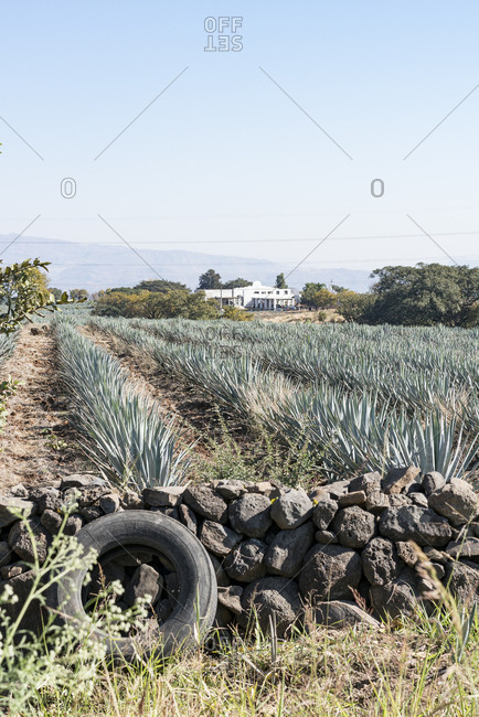 Agave field in Tequila, Mexico