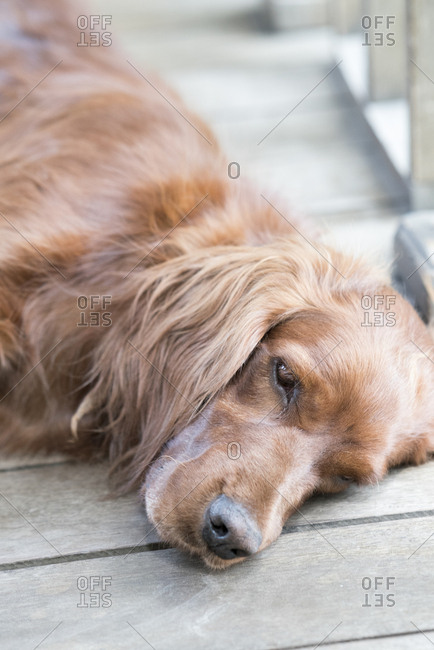 Dog resting on a wooden porch