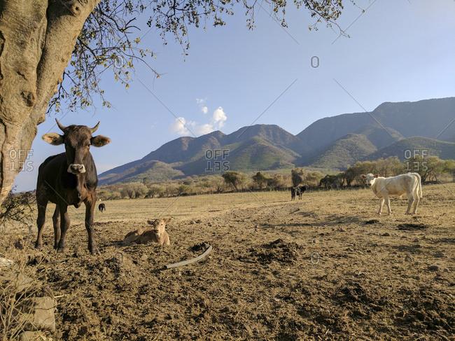Heard of cows grazing in mountainside field