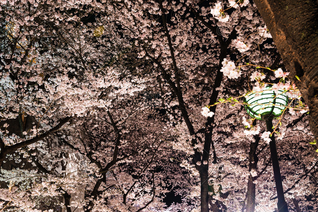 Cherry Blossoms along the Shirakawa riverside at night, Kyoto