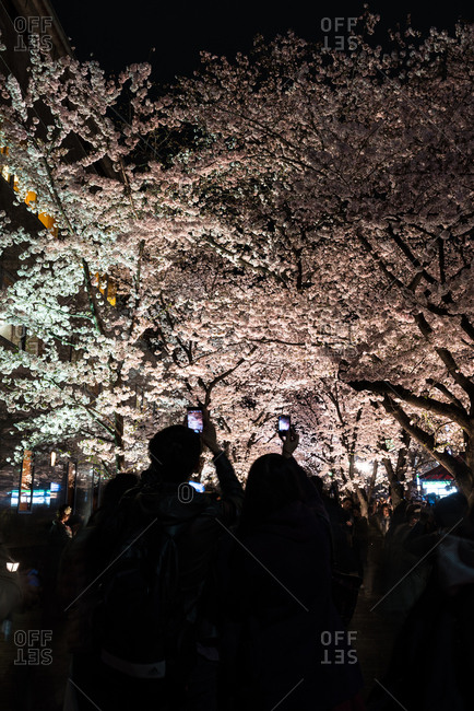 Kyoto, Japan - April 2, 2016: Cherry Blossoms along the Shirakawa riverside at night, Kyoto