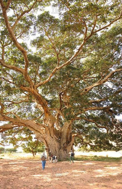Ethiopia, Tigray . giant Sicomoro tree near Mariam Papaseity church