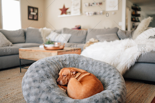 Dog curled up in dog bed