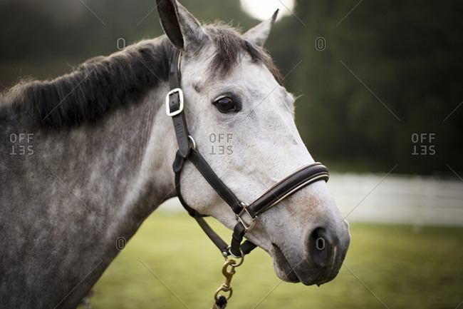 Gray horse wearing a bridle