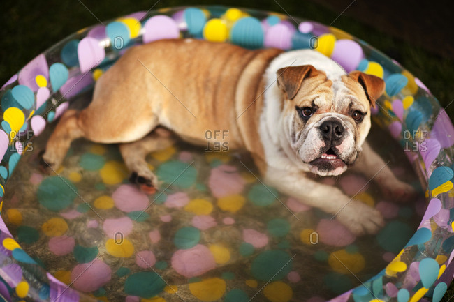 Bulldog cooling down in a paddling pool