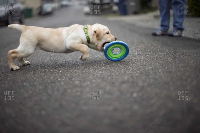 Puppy chasing a toy
