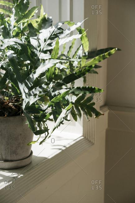 Leafy house plant on a windowsill