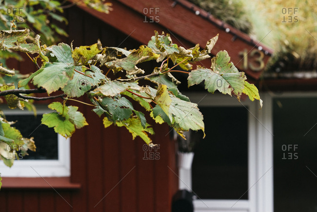 Withering leaves on a tree by a red house
