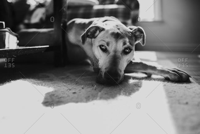 Dog lying on a living room floor