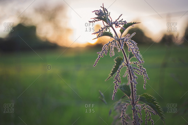 Close up of plant growing in the countryside at sunset
