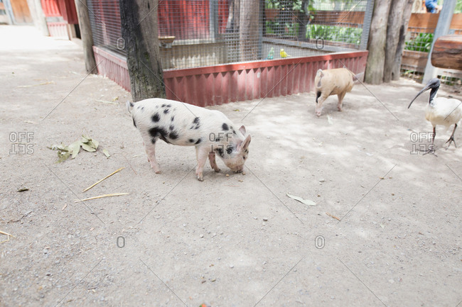 Spotted pigs on a farm with an ibis bird