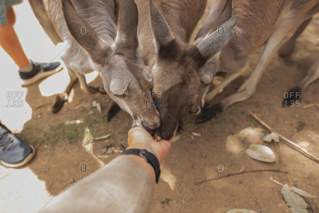 Kangaroos eating from person's hand