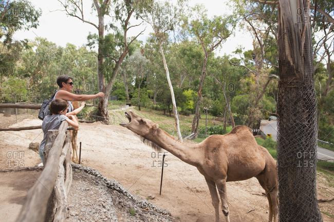 Grandmother and grandsons feeding camel at a zoo