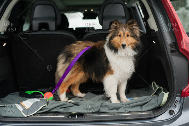 Sheltie standing in the back of car with leash and ball