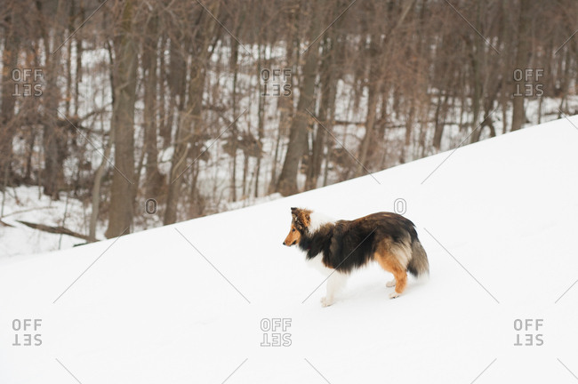 Sheltie standing on a snow covered hill in the forest