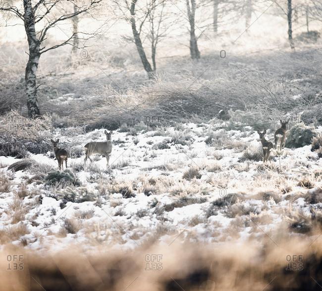 Four roe deer in winter moorland.