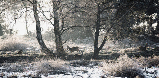 Roe deer in winter moorland backlit by sunlight.