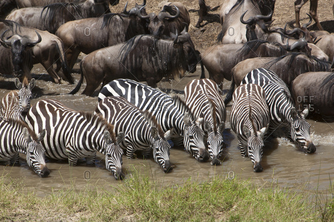 Zebra and water buffalo drinking at a watering hole in Kenya