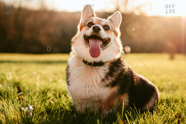 Portrait of a corgi dog in sunlit yard